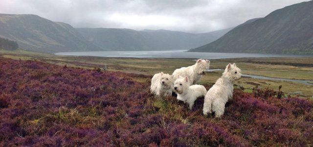 Glen Muick Dogs